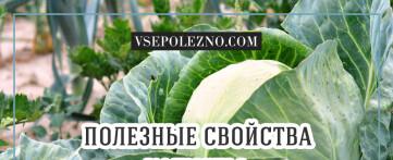 Полезные и лечебные свойства белокочанной капусты