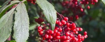 Красная бузина: полезные свойства и противопоказания