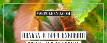 Польза и вред букового ореха для человека