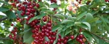 Красная черемуха полезные свойства и противопоказания в применение