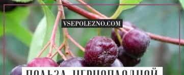 Польза черноплодной рябины для здоровья
