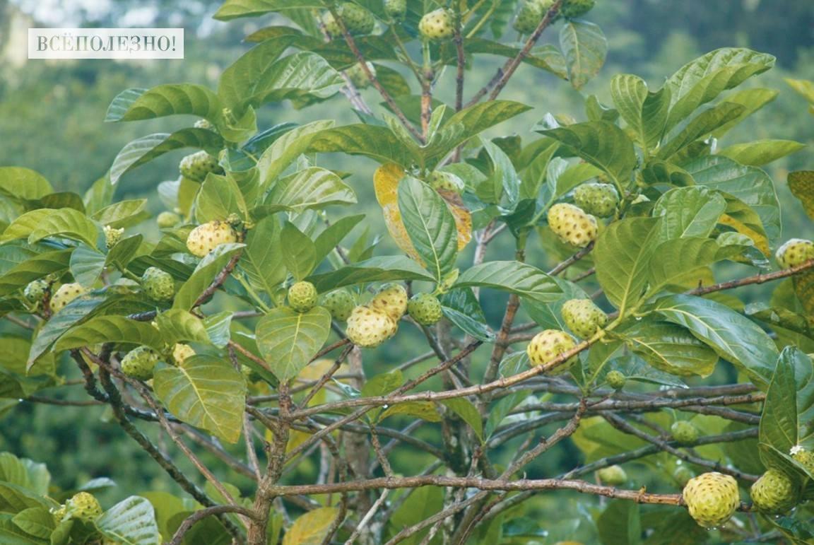 Нони фрукт: чем полезен, полезные свойства и противопоказания