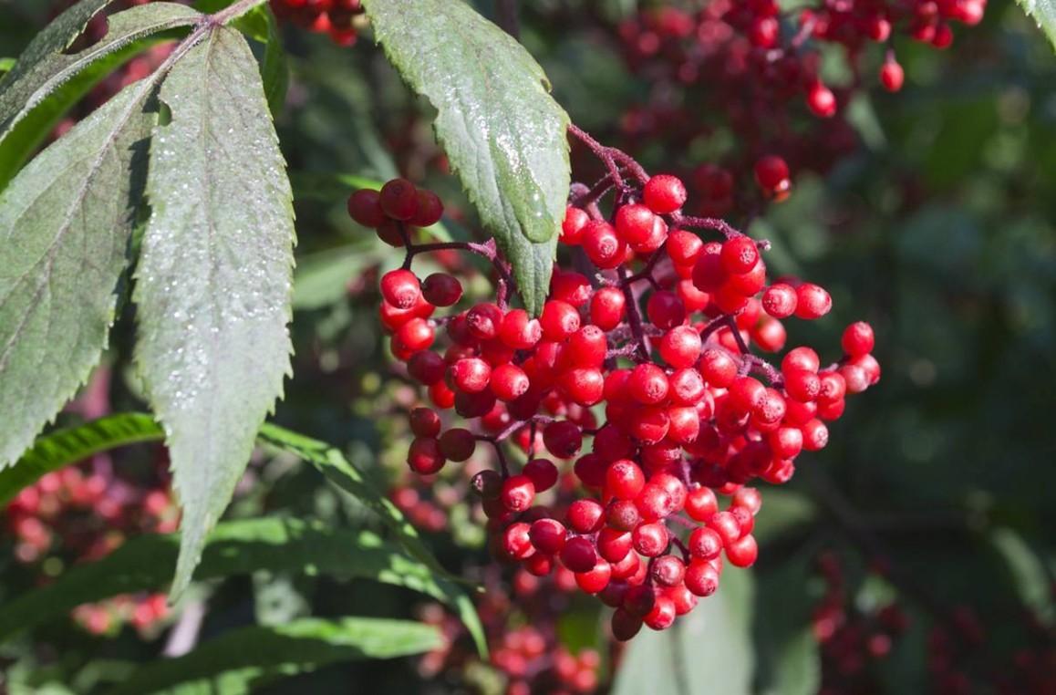 Бузина красная плоды