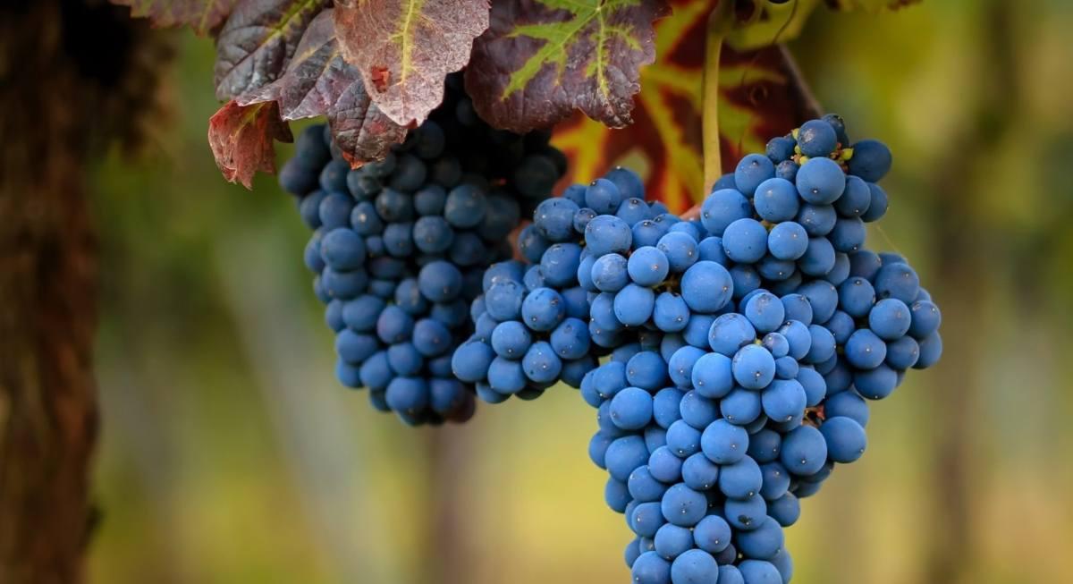 Синий виноград польза и вред для организма, калорийность и состав