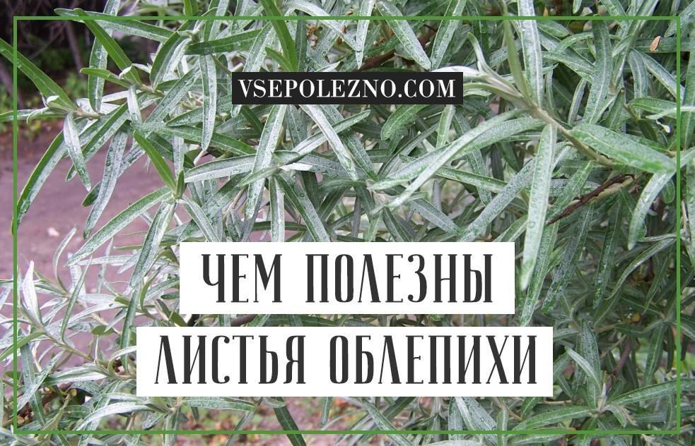 Листья облепихи полезные свойства и противопоказания