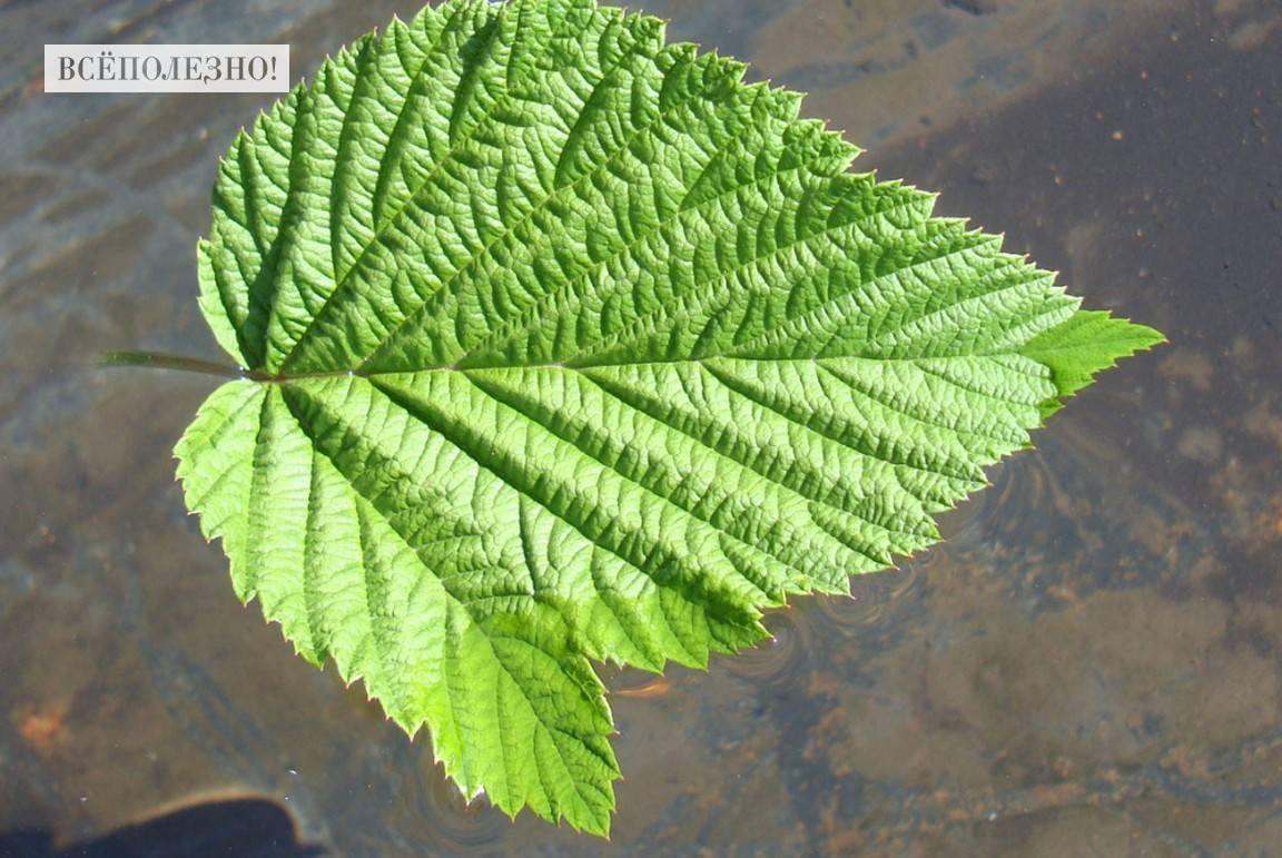 Чем полезны листья малины и как их правильно применять?