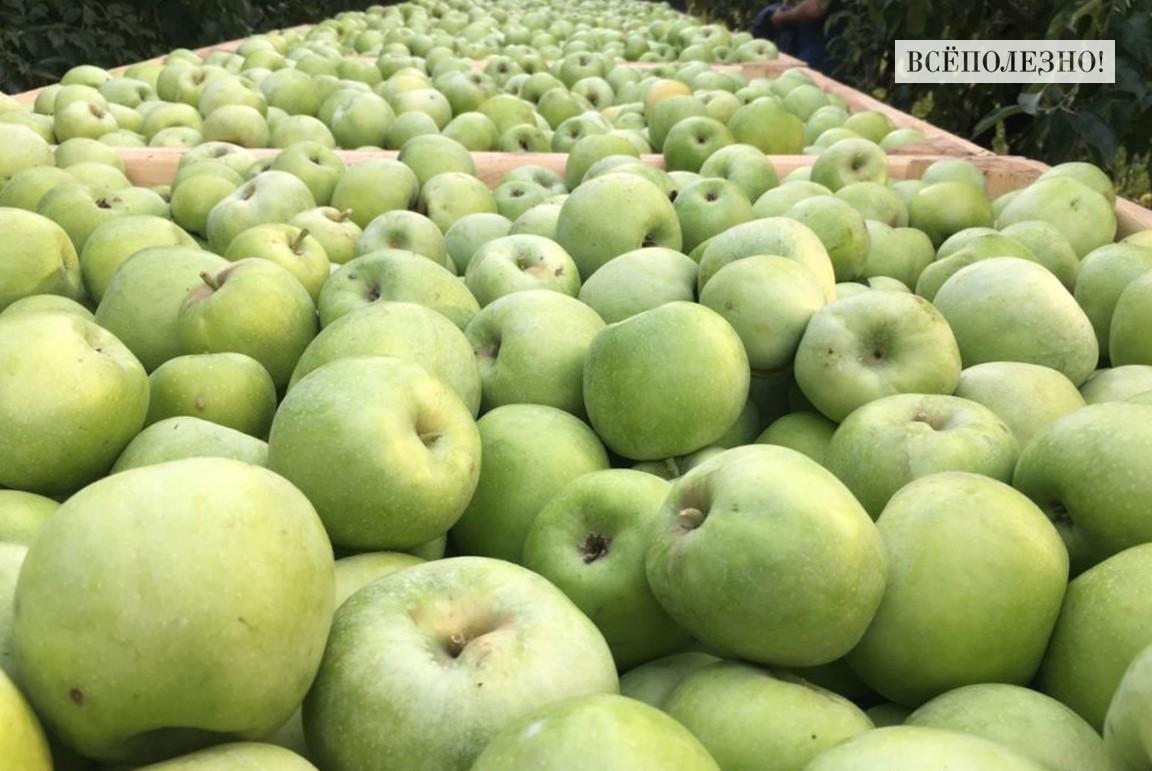 Полезные свойства яблок Семеренко