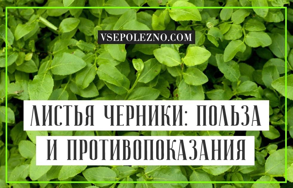 Листья черники лечебные свойства и противопоказания