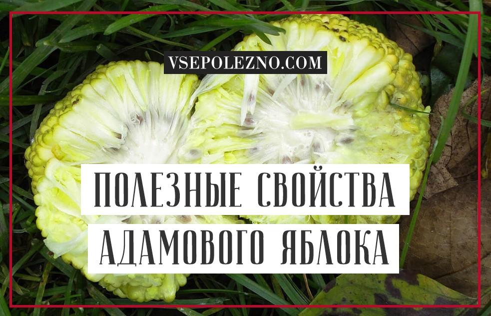 Маклюра, или адамово яблоко: свойства и применение