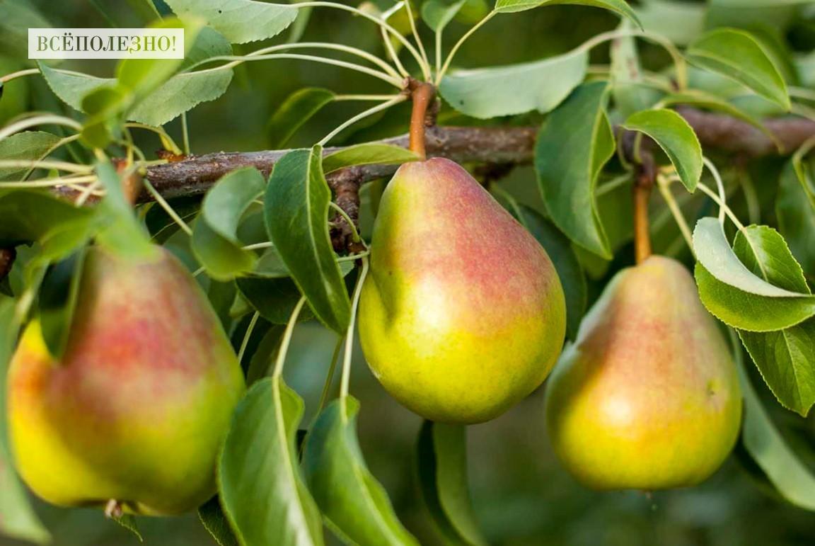Полезные свойства китайской груши для здоровья