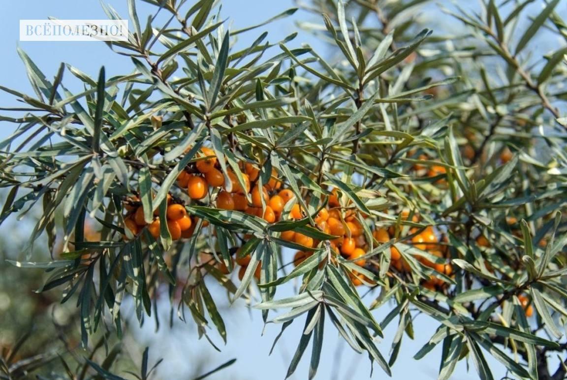 Чем полезны листья облепихи и как их правильно применять?