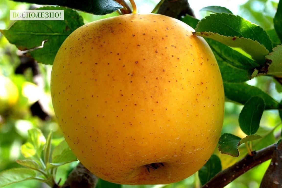 яблок Голден