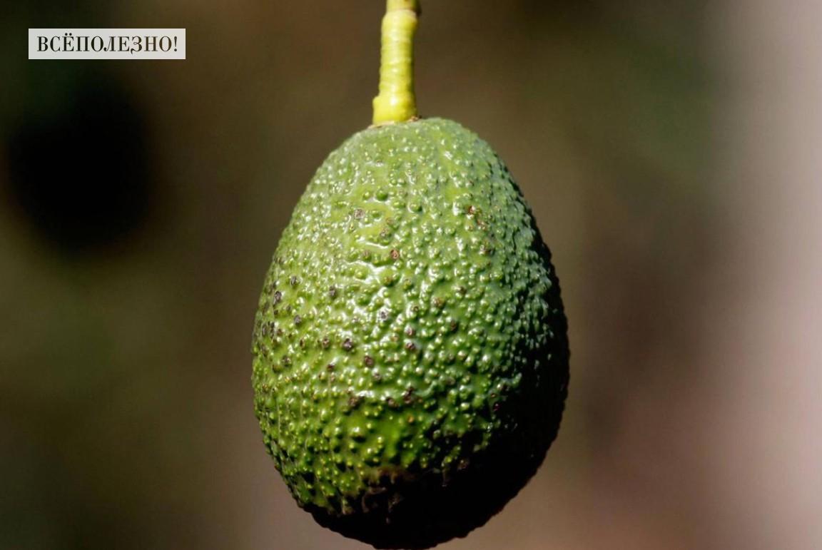 Химический состав и пищевая ценность авокадо, калорийность