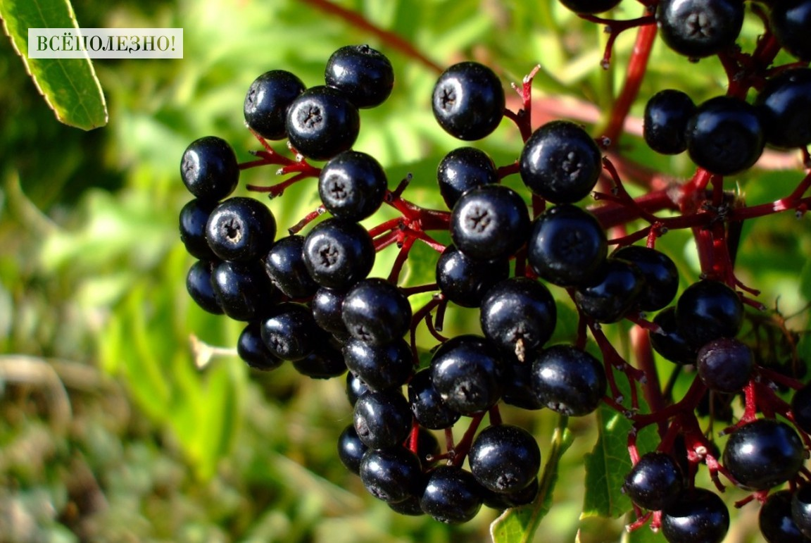 Полезные свойства санберри для здоровья человека