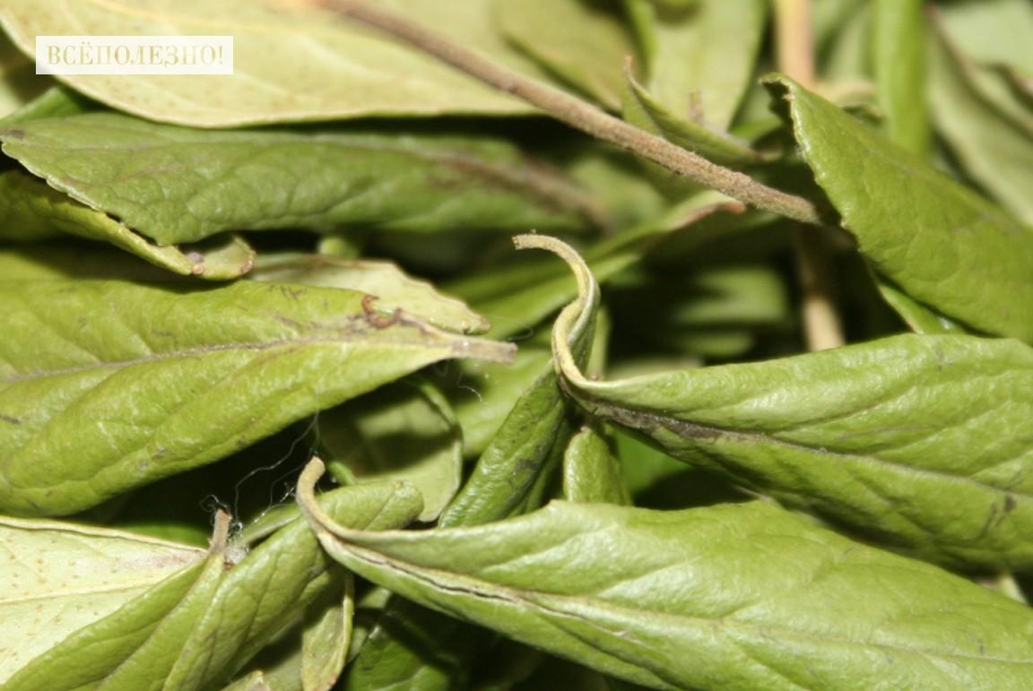 Чем полезны листья брусники для организма человека?