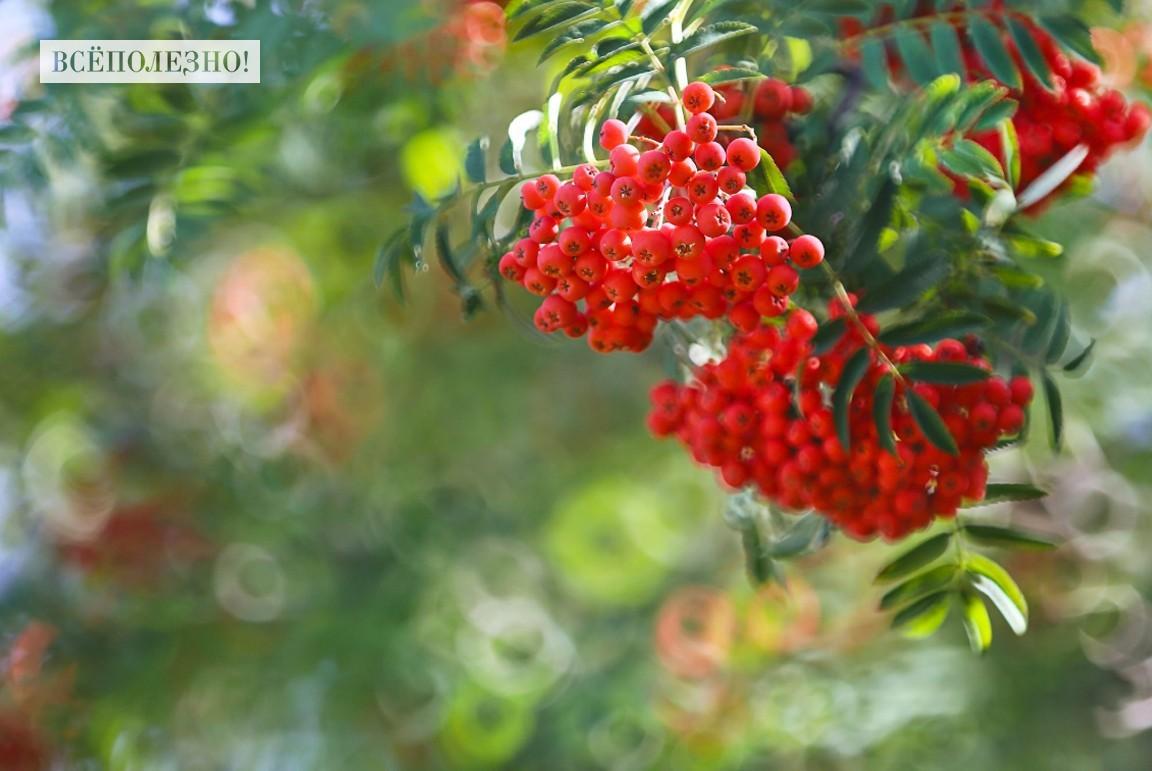 Чем полезна красная рябина для человека?