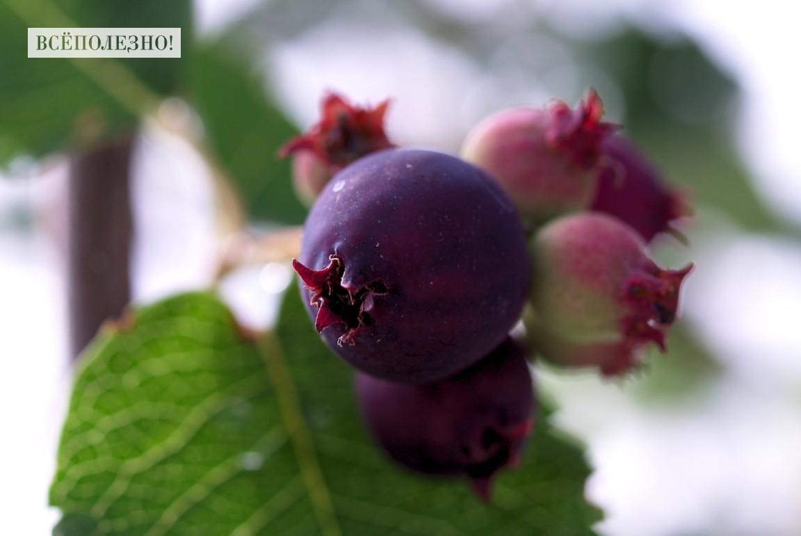 Чем полезна ирга ягода для организма человека?
