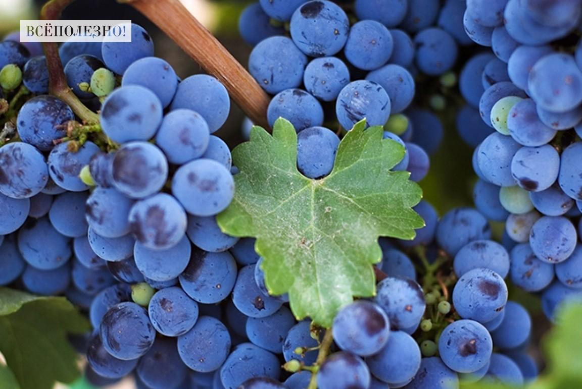 Чем полезен виноград для организма человека?