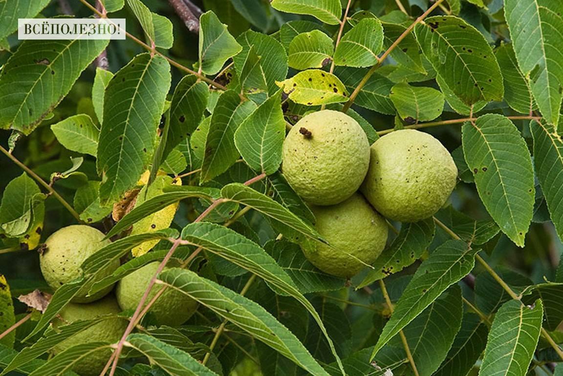 Полезные свойства и применение масла черного ореха