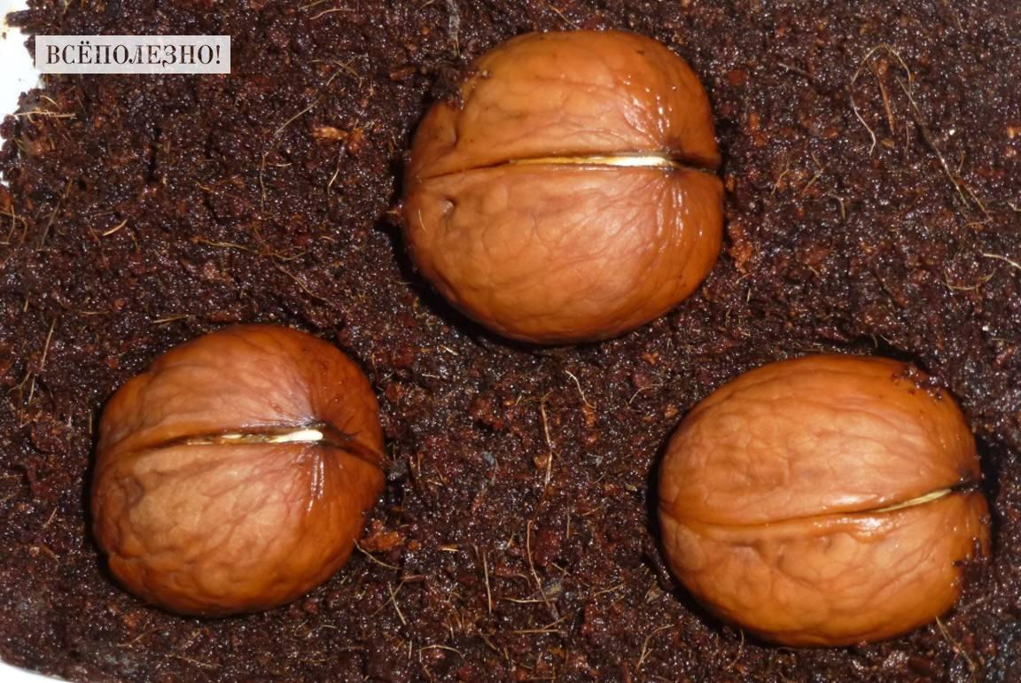 Особенности применение пророщенного грецкого ореха