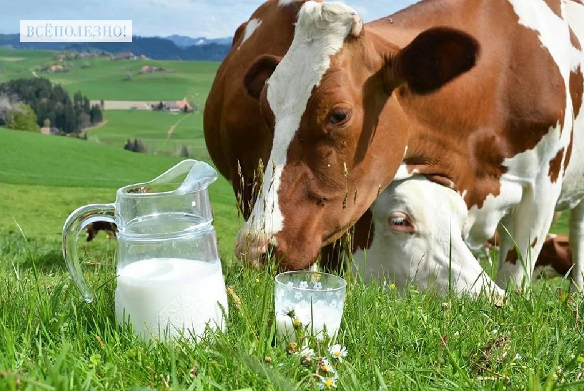 Чем полезно парное коровье молоко