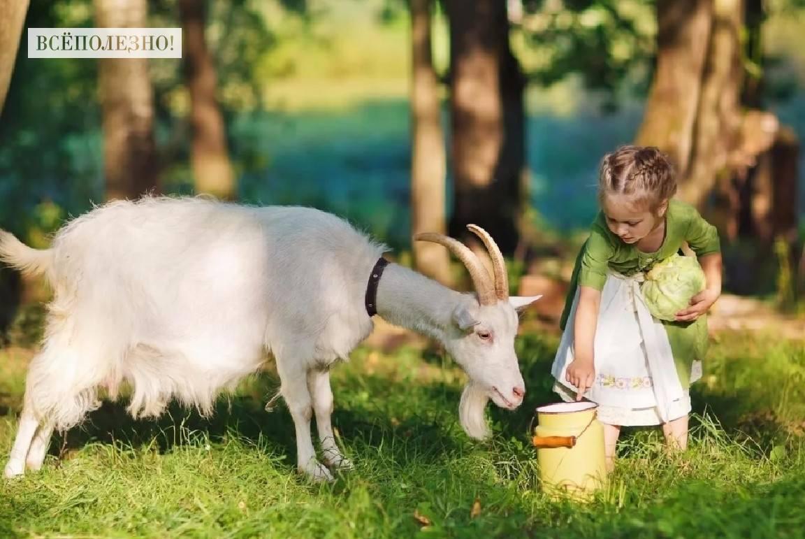Чем полезно козье молоко для мужчин