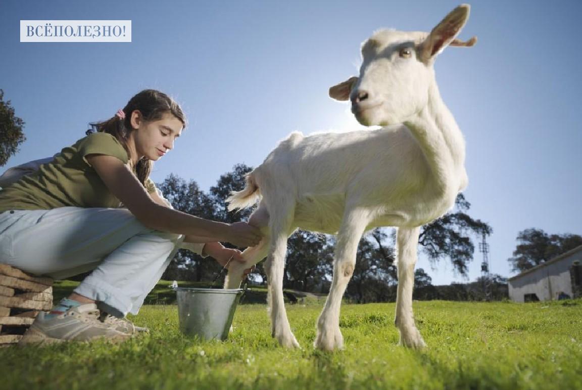Чем полезно козье молоко для организма взрослого человека и детей