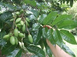 Канариум филиппинский и его плоды